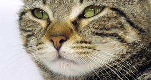 布朗平纹一只猫的家猫、眼睛画象在白色背景的,特写镜头和髭,慢动作 影视素材