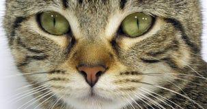 布朗平纹一只猫的家猫、眼睛画象在白色背景的,特写镜头和髭,慢动作 股票视频