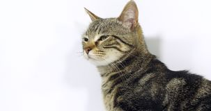 布朗平纹家猫,一只猫的画象在白色背景,慢动作的 股票录像