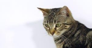 布朗平纹家猫,一只猫的画象在白色背景,慢动作的 股票视频