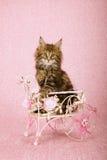 布朗平纹缅因浣熊小猫坐的里面装饰了在桃红色背景的白合金推车 库存照片