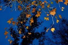 布朗平衡钴蓝色天空的秋叶 免版税图库摄影