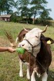 布朗弄脏了吃从农夫的手的母牛草在一绿色蜂蜜酒 图库摄影