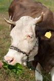 布朗弄脏了吃从农夫的手的母牛草在一绿色蜂蜜酒 库存图片