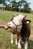 布朗弄脏了吃从农夫的手的母牛草在一绿色蜂蜜酒 免版税库存照片