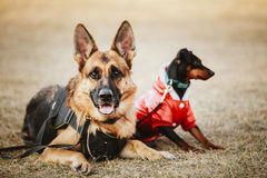 布朗德国护羊狗和黑微型短毛猎犬 图库摄影