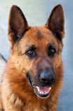 布朗德国牧羊犬狗 免版税图库摄影