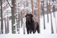 布朗户外拉布拉多猎犬狗在冬天 免版税库存图片