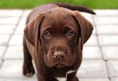 布朗拉布拉多小狗在庭院里 库存照片