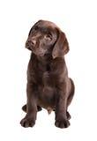 布朗拉布拉多猎犬小狗 免版税图库摄影