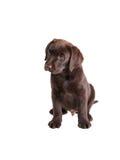 布朗拉布拉多猎犬小狗 库存照片