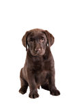 布朗拉布拉多猎犬小狗 免版税库存图片