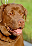 布朗拉布拉多猎犬 库存图片