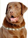 布朗拉布拉多猎犬 免版税图库摄影