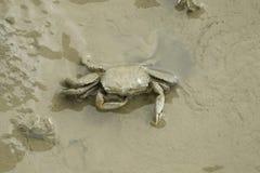 布朗招潮蟹的画象 免版税库存图片