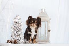 布朗摆在为圣诞节的奇瓦瓦狗狗 免版税图库摄影