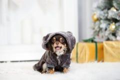 布朗摆在为圣诞节的奇瓦瓦狗狗 库存照片