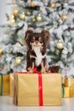 布朗摆在户内为圣诞节的奇瓦瓦狗狗 库存照片