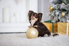 布朗摆在户内为圣诞节的奇瓦瓦狗狗 免版税库存照片