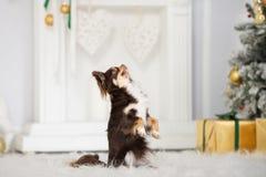 布朗摆在户内为圣诞节的奇瓦瓦狗狗 免版税图库摄影