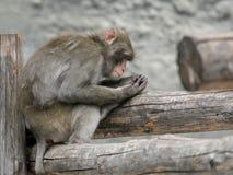 布朗日本短尾猿(雪猴子) 免版税图库摄影