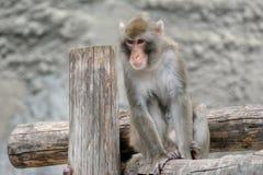 布朗日本短尾猿(雪猴子) 库存图片