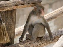 布朗日本短尾猿(雪猴子) 免版税库存照片
