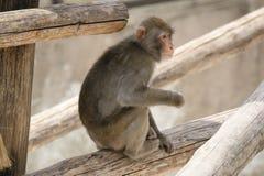 布朗日本短尾猿(雪猴子) 图库摄影
