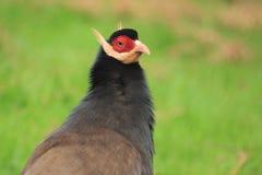 布朗有耳的野鸡 免版税库存照片
