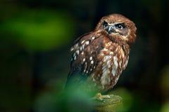 布朗木猫头鹰,猫头鹰类leptogrammica,从亚洲的稀有人物 马来西亚美丽的猫头鹰在自然森林栖所 从马来西亚的鸟 免版税库存图片