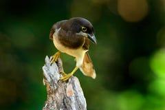 布朗杰伊,密林森林布朗杰伊, Cyanocorax morio,从绿色哥斯达黎加森林的鸟,在树栖所 热带双细节  库存照片