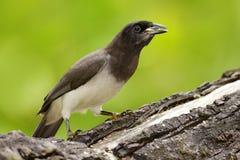 布朗杰伊, Cyanocorax morio,从绿色哥斯达黎加森林的鸟,在树栖所 热带海鸟细节  大棕榈树事假wi 库存图片