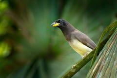 布朗杰伊, Cyanocorax morio,从绿色哥斯达黎加森林的鸟,在树栖所 热带海鸟细节  鸟在绿色森林e里 免版税库存照片