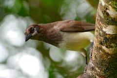 布朗杰伊, Cyanocorax morio,从绿色哥斯达黎加森林的鸟,在树栖所 热带海鸟细节  库存图片