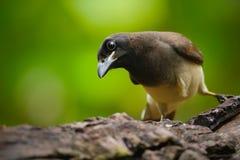 布朗杰伊, Cyanocorax morio,鸟细节画象从绿色哥斯达黎加森林的,在树栖所 免版税库存图片