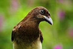 布朗杰伊, Cyanocorax morio,鸟画象从绿色哥斯达黎加森林,紫罗兰色花的在背景中 图库摄影