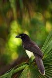 布朗杰伊, Cyanocorax morio,从绿色伯利兹森林的鸟,在树自然栖所,光在背景中 库存图片
