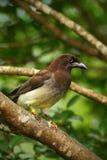 布朗杰伊, Cyanocorax morio,从绿色哥斯达黎加森林的鸟,在树栖所 图库摄影