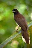 布朗杰伊, Cyanocorax morio,从绿色哥斯达黎加森林的鸟,在树栖所 免版税库存照片