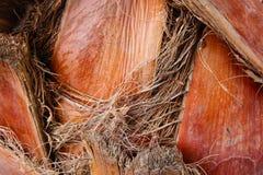 布朗棕榈吠声 免版税图库摄影