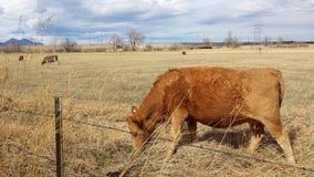 布朗母牛吃草牧场地领域 免版税库存照片