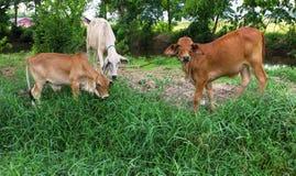布朗母牛在一个大草原在泰国 免版税库存照片