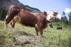 布朗母牛在国家公园gran paradiso意大利山草甸吃草 库存图片