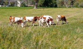 布朗母牛在山牧场地 库存照片