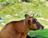 布朗母牛在绿草休息在晴朗的早晨 免版税库存照片