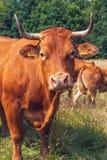 布朗母牛在草甸 库存照片