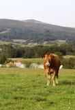 布朗母牛在草甸 库存图片