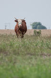 布朗母牛朝前看和麦地 免版税库存照片