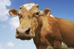 布朗母牛特写镜头反对天空的 免版税库存图片