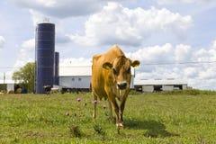 布朗母牛 免版税图库摄影